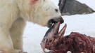 Buzulların erimesiyle kutup ayıları yunusları yemeye başladı!