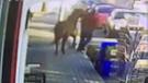 Güvenlik kamerasındaki saldırgan at bugün kayıp