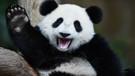 Çin, panda kakasından tuvalet kağıdı üretiyor