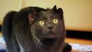 Bu kedinin 4 kulağı var! İnanılmaz ama gerçek