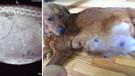 Uyutulmak üzere olan hamile köpeği sahiplendi inanılmaz şeyler oldu
