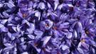 Karabük'te hasat başladı! Mucize bitkinin kilosu 30 bin lira