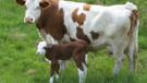 Çanakkale'de vahşet! Gebe inekleri kaçırıp...