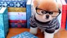 Dünyanın en ünlü köpeği Boo hayatını kaybetti