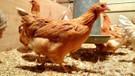 İskoç uzmanlar kanser ilaçları yumurtlayan tavuk yetiştirdi