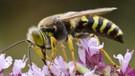 Eşek arıları bu denklemi çözebiliyor: X, Y'den, Y de Z'den büyükse X, Z'den büyüktür