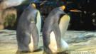 Eşcinsel penguenler terk edilen yumurtaya sahip çıktı!