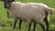 Yuh artık!!! Kurbanlık koyuna tecavüz ederken basıldılar!!! İnanılmaz ama gerçek!!!