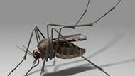 Batı Nil virüsü nasıl bulaşıyor, nasıl öldürüyor?