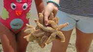Tekirdağ Kumbağ'da yüzlerce ölü deniz yıldızı karaya vurdu
