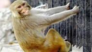 Hindistan'da bir maymun kuyumcuyu soydu!