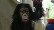 Şempanzeler su içmek için pipet yapıyor