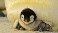 Kanada'da üşüyen penguenler kapalı alanlara alındı