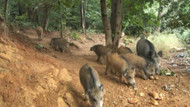Yağış sonrası İstanbul'da domuz sürüsü şehre indi