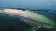 Bilim adamlarından şaşırtan açıklama: Balinalar şarkıları insanlar gibi ezberliyor