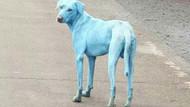 Hindistan'da mavi köpek paniği