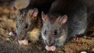 Sıçanlar Felçli çocuğun parmaklarını yedi, vücudunda 225 yaraya yol açtı