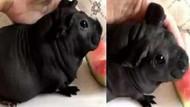 Köpek diye aldığı hayvan bambu sıçanı çıktı