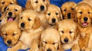 Köpekler biz onlara konuşurken neden kafalarını eğerler?