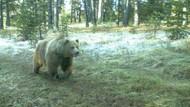 İnsan yiyen ayı soyu bilimsel değil