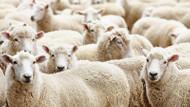 300 Koyun Projesi'ne TİGEM üzerinden başvurular başladı