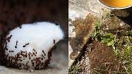Karıncaları evinizden kovmanın doğal yöntemleri