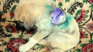 Tekirdağ'da yavru köpek sırtından bıçaklandı