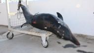 Bodrum kıyısında devasa balık! Turistler gördüklerine inanamadı