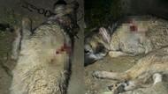 Afyonkarahisar'da kulübesinde bağlı hamile çoban köpeği vurularak öldürüldü