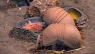 Wild Park Tropikal Reptile House'a armadillo geldi