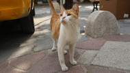 Sokak kedisi Mırmır köpeklerin korkulu rüyası oldu