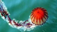 Akdeniz için zehirli denizanası uyarısı! Pusula denizanası nedir?