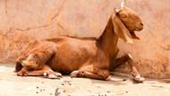 Pes dedirtti! 8 kişi kaçırdıkları keçiye tecavüz edip öldürdü