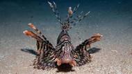 Dikkat zehirli! Ege Denizi'nde aslan balığı istilası riski
