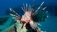 Dünyanın en zehirli balığı Akdeniz'in ardından Ege'de ortaya çıktı!