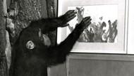 Şempanze Congo'nun resimleri satışa çıkıyor
