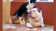 Bulldog köpeğe masaj yapan kedi sosyal medyayı salladı