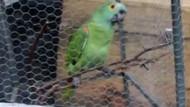 Polis baskını sırasında sahibini uyaran papağana gözaltı