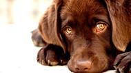 Köpeklerin masum ya da üzgün bakışlarının sebebi insanları etkilemekmiş