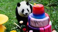 Çin'in, Putin'e hediye ettiği pandalara doğum günü kutlaması!