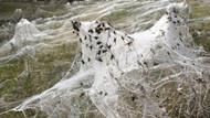 Avustralya'da örümcek yağmuru: Görenler melek saçı diyor!