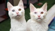 Van kedilerinin sağır olmadığı bilimsel olarak kanıtlandı