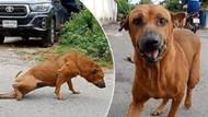 Yiyecek için kırık bacak numarası yapan köpeğin videosu viral oldu
