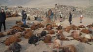 Kurtlar Ağrı'da 200 koyunu telef etti!