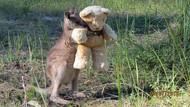 Yalnız kanguru oyuncak ayısını kucağından indirmiyor