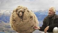Kaçak koyun, kırpılmamak için yıllarca kaçtı!