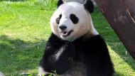 Çinliler maç sonuçlarını pandaya soracak
