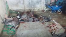 Bir ton kaçak domuz etinin adresi İstanbul'du
