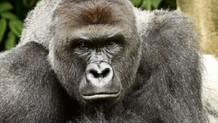 Öldürülen goril aslında çocuğu korumaya çalışmış!