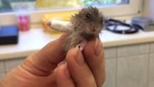 Kolu kırılan minik hamster internet fenomeni oldu!